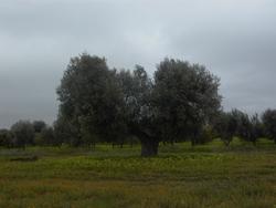 Olivi4