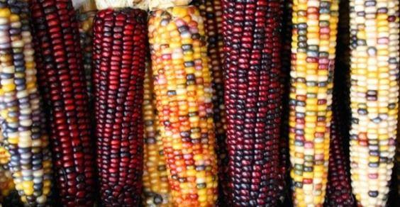 mais_OGM