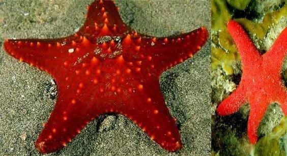 stelle_marine