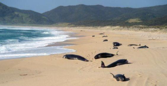 balene_spiaggiate_nuova_zelanda