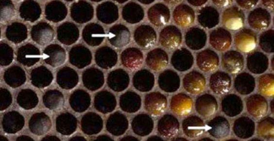 Honey-and-bee--Entombed-P-007
