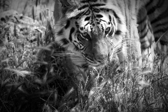 Tigre_-_foto_Alessia_Cerqua