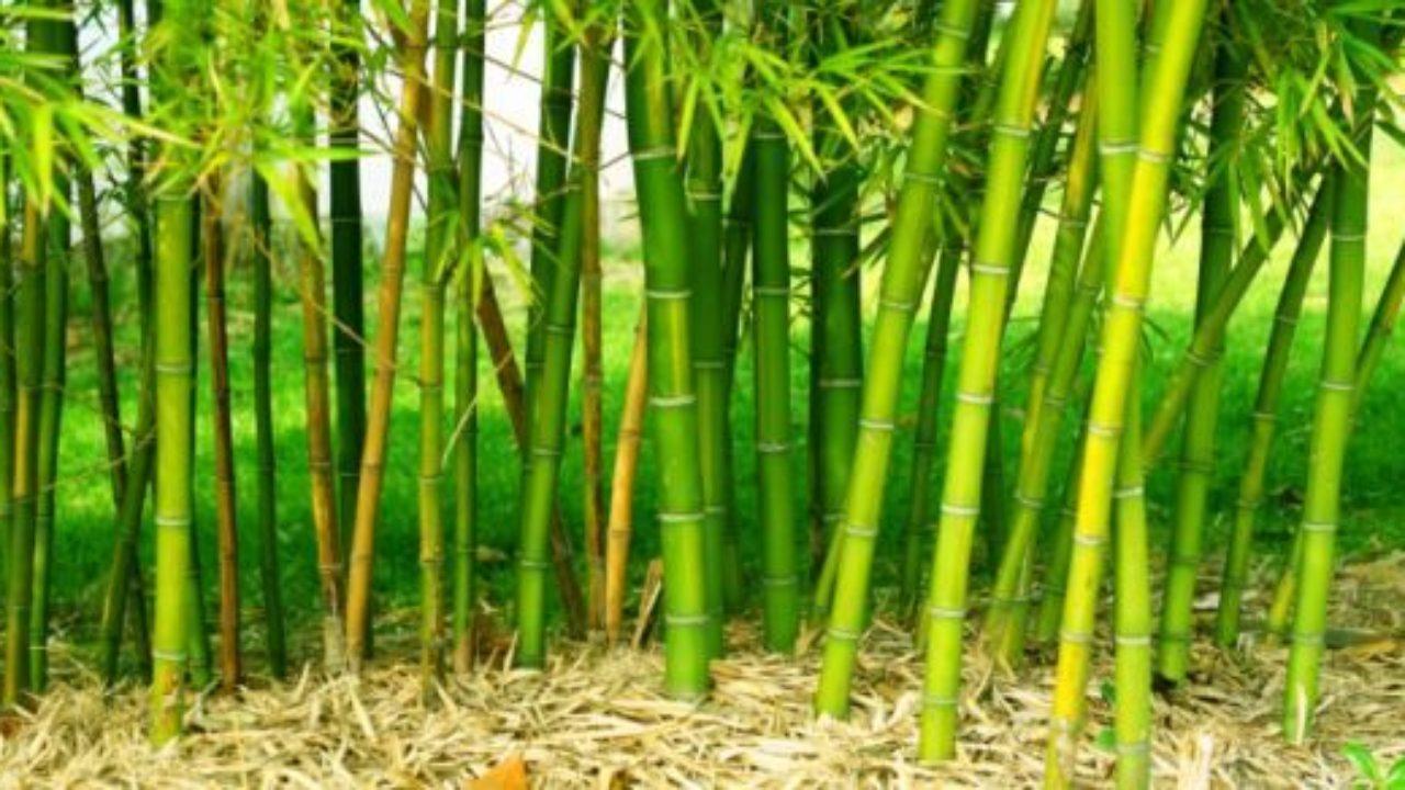Siepe Di Bambu Prezzo.5 Motivi Per Non Piantare Bambu Nel Vostro Giardino Greenme It