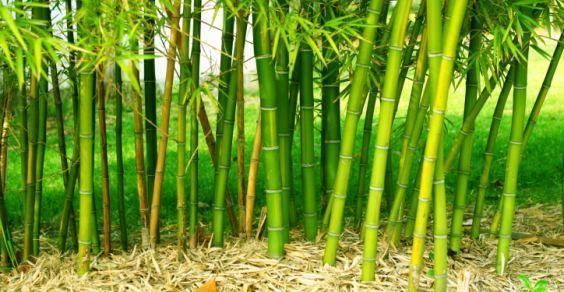 Variet Di Bamb.5 Motivi Per Non Piantare Bambu Nel Vostro Giardino Greenme It