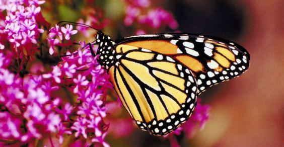 farfalle_monarca