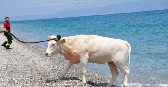 mucca-teresa