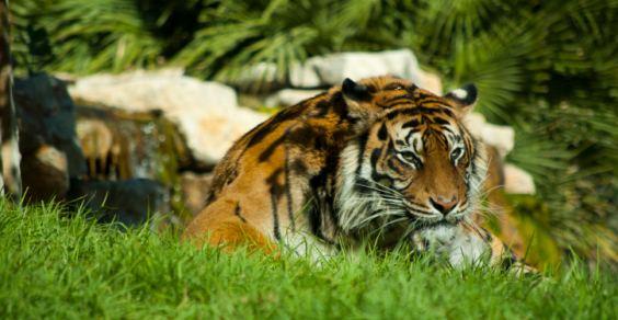 tigri_di_sumatra