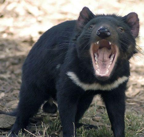 diavolo_tasmania
