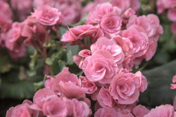 fiori edibili begonia