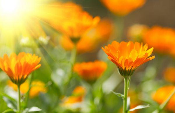 fiori edibili calendula