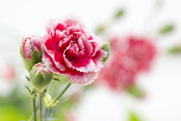 fiori edibili garofano