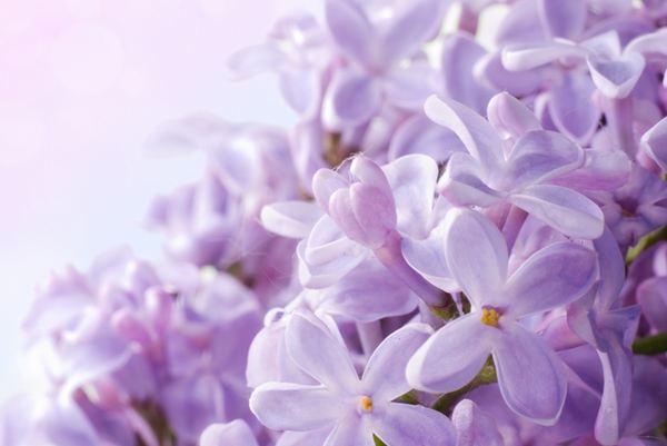fiori edibili lillà