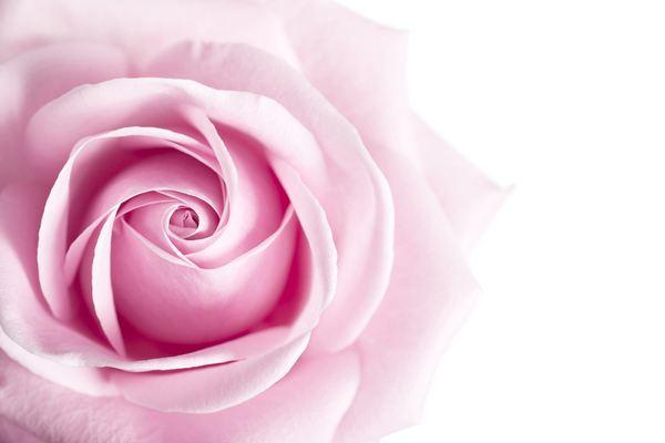 fiori edibili rose