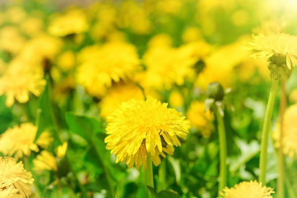 fiori edibili tarassaco