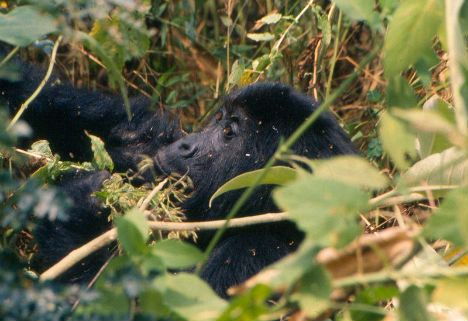 gorilla_gps