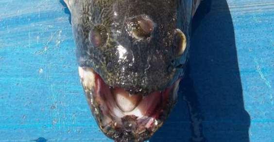 pesce_tre_occhi