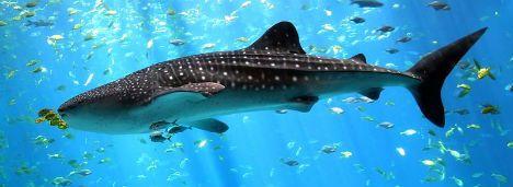 squali_balena