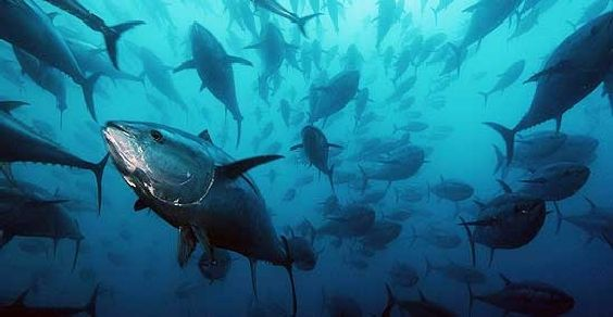 tonno-rosso-estinzione