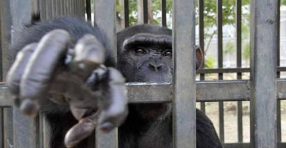 scimmie vivisezione