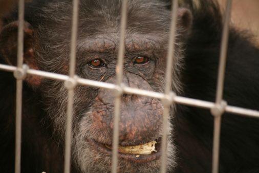 scimpanzé vivisezione