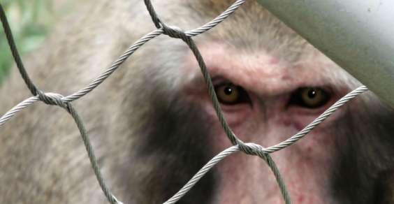 macaco-harlan