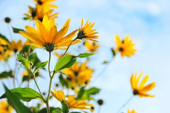 topinambur_fiori