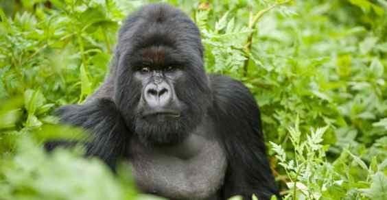gorilla dna