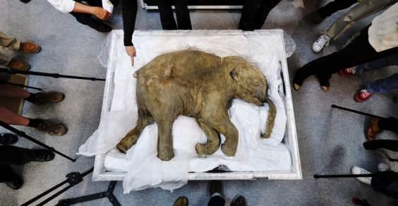 Baby-Mammut