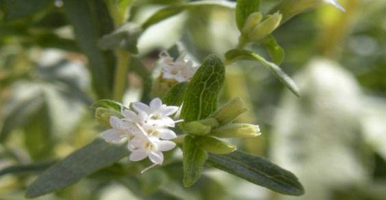 stevia 3