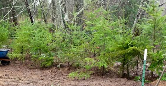 trapianto alberi