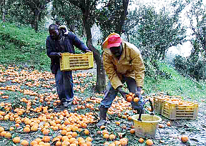 immigrati-raccolta-arance