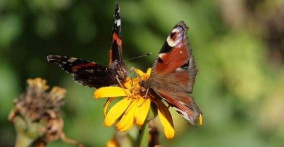 farfalle-giardino