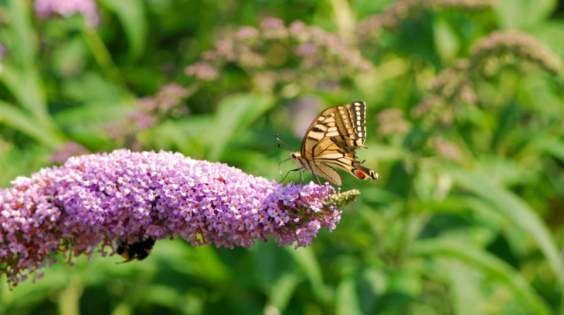 fiore farfalle