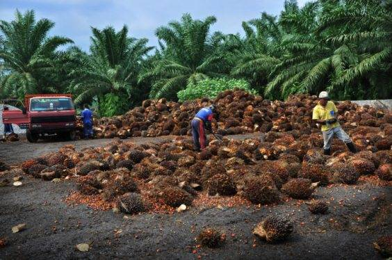 olio di palma2