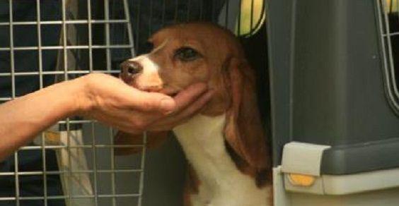 beagle libera