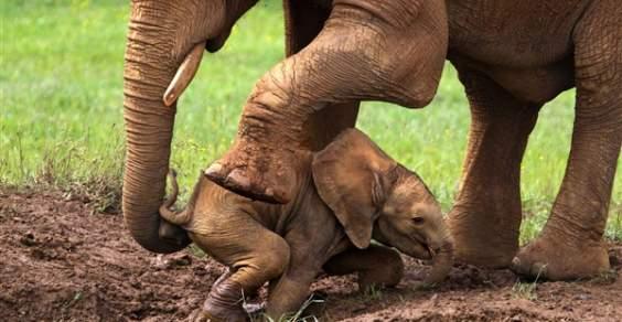 cucciolo elefante