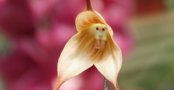 orchidea scimmia 1