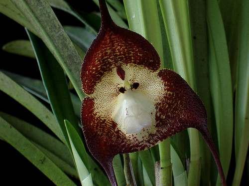 orchidea scimmia 2