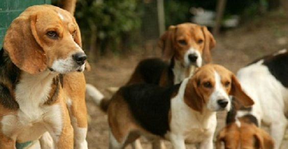 beagle morini