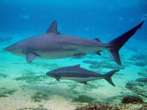 squalo bruno