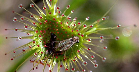 drosera pianta carnivora insetti