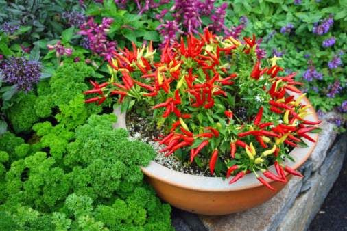 peperoncino ornamentale