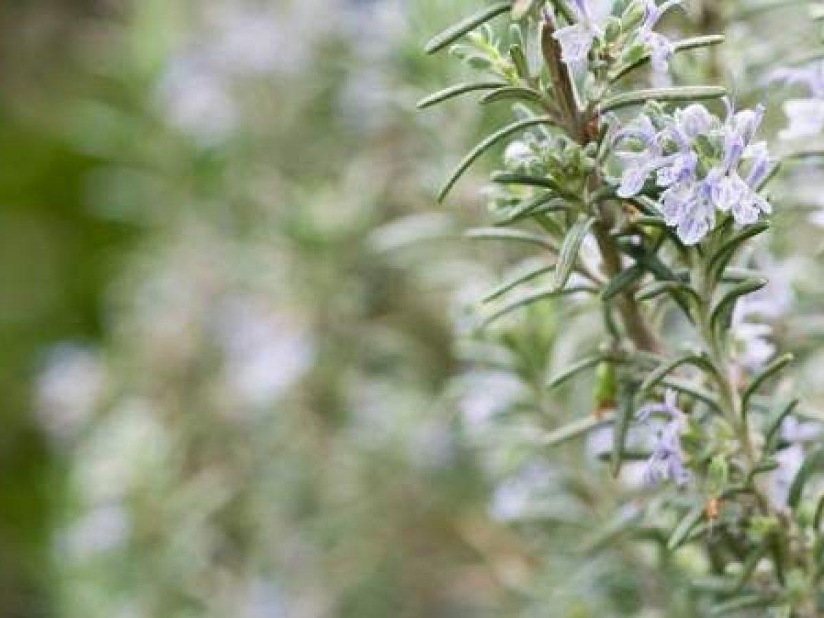 Quando Posso Potare Il Rosmarino rosmarino: come coltivarlo in vaso o in giardino - greenme.it