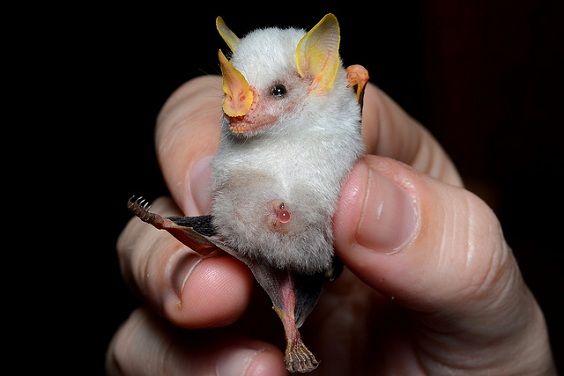 pipistrello bianco Honduras