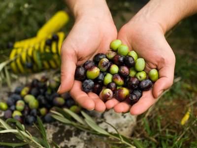 raccolta olive, vendemmia, lavori stagionali
