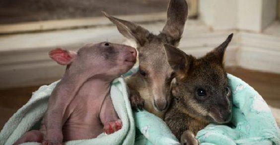 trio marsupiali