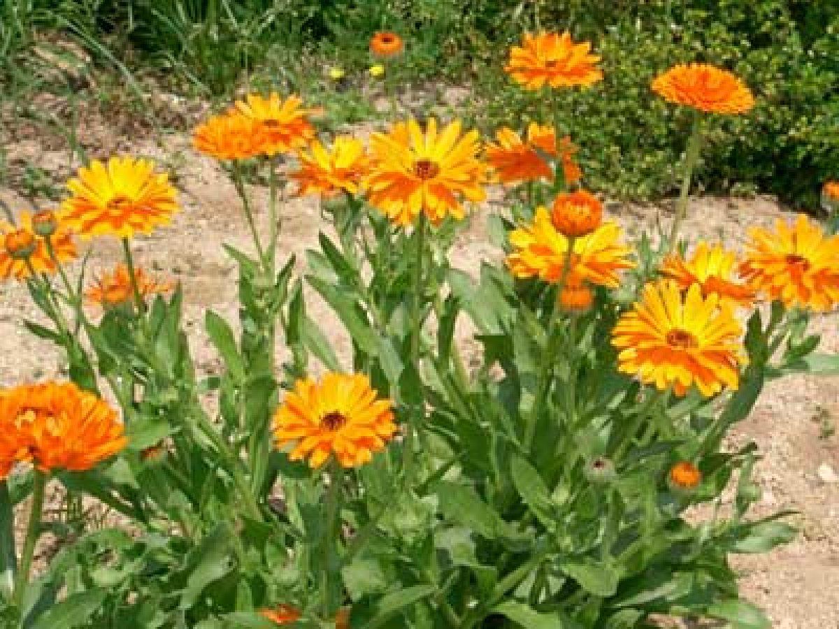Fiori Gialli E Arancioni.Calendula Il Fiore Giallo Arancio Alleato Della Pelle E Non Solo