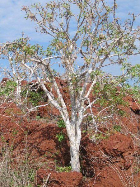albero palo santo