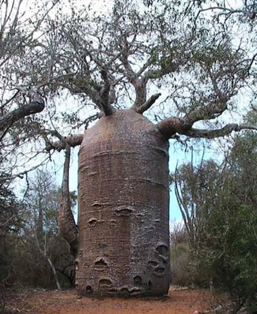baobob-tree