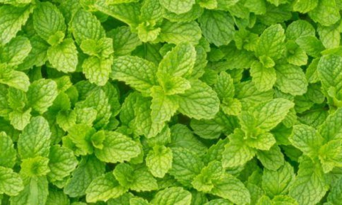 Menta Proprieta Benefici E Utilizzi Greenme